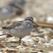 Broad-billed sandpiper. Juvenile. Manukau Harbour, December 2015. Image © Oscar Thomas by Oscar Thomas https://www.flickr.com/photos/kokakola11/