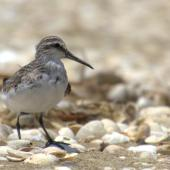 Broad-billed sandpiper. Juvenile in alert posture. Manukau Harbour, December 2015. Image © Oscar Thomas by Oscar Thomas https://www.flickr.com/photos/kokakola11/