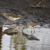 Ruff. Non-breeding adult (left) with greenshank. Lake Nakuru, Kenya, March 2014. Image © Koos Baars by Koos Baars