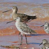 Asiatic dowitcher. Non-breeding adult with black-tailed godwit behind, and great knots. Broome, Western Australia, September 2015. Image © Duncan Watson by Duncan Watson