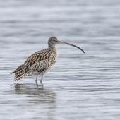 Eastern curlew. Adult waiting for high tide to recede. Mangere Bridge township foreshore, July 2015. Image © Bruce Buckman by Bruce Buckman https://www.flickr.com/photos/brunonz/