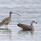 Eastern curlew. Adult with immature southern black-backed gull nearby. Mangere Bridge township foreshore, July 2015. Image © Bruce Buckman by Bruce Buckman https://www.flickr.com/photos/brunonz/