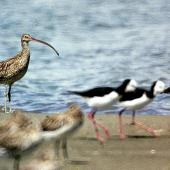 Eastern curlew. Adult (left) with pied stilts and bar-tailed godwits. Manawatu River estuary, February 2008. Image © Alex Scott by Alex Scott