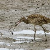 Eastern curlew. Adult catching a crab. Cairns foreshore,  Queensland,  Australia, July 2017. Image © Rebecca Bowater by Rebecca Bowater FPSNZ AFIAP www.floraandfauna.co.nz