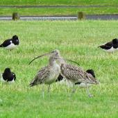 Eastern curlew. Two adults roosting with South Island pied oystercatchers. Mangere Bridge, Auckland, November 2015. Image © Jacqui Geux by Jacqui Geux