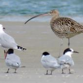 Eastern curlew. Adult with white-fronted terns and red-billed gull. Ruakaka, March 2017. Image © Scott Brooks (ourspot) by Scott Brooks