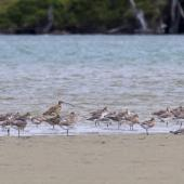 Eastern curlew. Size comparison with bar-tailed godwits. Catlins, February 2013. Image © Glenda Rees by Glenda Rees http://www.flickr.com/photos/nzsamphotofanatic/