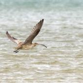 Eastern curlew. Adult in flight showing underwings and tail. Catlins, February 2013. Image © Glenda Rees by Glenda Rees http://www.flickr.com/photos/nzsamphotofanatic/