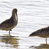 Eastern curlew. Two adults, one preening. Cairns foreshore,  Queensland,  Australia, August 2015. Image © Rebecca Bowater by Rebecca Bowater FPSNZ AFIAP www.floraandfauna.co.nz