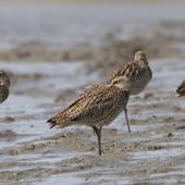 Eastern curlew. Adults roosting. Yalu Jiang National Nature Reserve, China, April 2010. Image © Phil Battley by Phil Battley