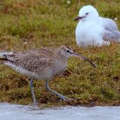 Whimbrel. Adult  Asiatic whimbrel (foreground) with red-billed gull. Manawatu River estuary, November 2014. Image © Alex Scott by Alex Scott