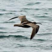 Whimbrel. Asiatic whimbrel in flight. Green Point, Porirua, November 2013. Image © Duncan Watson by Duncan Watson