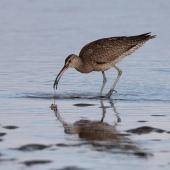 Whimbrel. Adult  Asiatic whimbrel seizing mudcrab. Clive rivermouth, Hawke's Bay, November 2015. Image © Adam Clarke by Adam Clarke