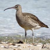 Whimbrel. Adult Asiatic whimbrel. Ngunguru, April 2017. Image © Scott Brooks (ourspot) by Scott Brooks