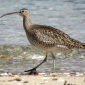 Whimbrel. Adult Asiatic whimbrel walking. Ngunguru, April 2017. Image © Scott Brooks (ourspot) by Scott Brooks