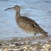 Whimbrel. Adult Asiatic whimbrel. Ngunguru, February 2017. Image © Scott Brooks (ourspot) by Scott Brooks