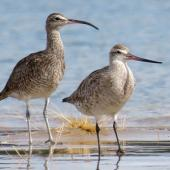 Whimbrel. Adult roosting with bar-tailed godwit. Ngunguru sandspit, January 2020. Image © Scott Brooks (ourspot) by Scott Brooks
