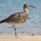 Whimbrel. Adult. Ngunguru sandspit, February 2020. Image © Scott Brooks (ourspot) by Scott Brooks