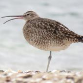 Whimbrel. Adult Asiatic whimbrel displaying rhynchokinesis (flexure of the upper beak). Ngunguru, March 2017. Image © Scott Brooks (ourspot) by Scott Brooks