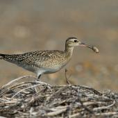 Little whimbrel. Adult carrying scarabaeid larva. Yi-Land, Taiwan, October 2012. Image © Kevin Lin by Kevin Lin via Flickr, 2.0 Generic (CC BY-NC-SA 2.0)