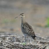 Little whimbrel. Adult. Yi-Land, Taiwan, October 2012. Image © Kevin Lin by Kevin Lin via Flickr, 2.0 Generic (CC BY-NC-SA 2.0)