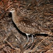 Bristle-thighed curlew. Adult. Rawaki, Phoenix Islands, May 2008. Image © Mike Thorsen by Mike Thorsen