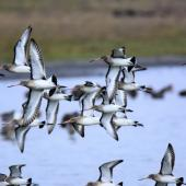 Black-tailed godwit. Ventral view of birds in flight. Parc du Marquenterre, France, December 2016. Image © Cyril Vathelet by Cyril Vathelet
