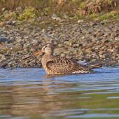 Hudsonian godwit. Adult in breeding plumage. Westchester Lagoon, Anchorage, Alaska, May 2015. Image © Nigel Voaden by Nigel Voaden