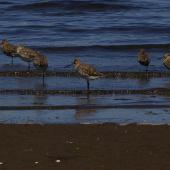Hudsonian godwit. Adults in non-breeding plumage. Puerto Montt, Chile, January 2009. Image © Colin Miskelly by Colin Miskelly