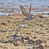 Wandering tattler. Adults fighting. Tonga, August 2008. Image © John Flux by John Flux