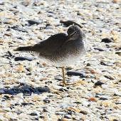 Wandering tattler. Adult in partial breeding plumage. Otarawairere, Bay of Plenty, July 2013. Image © Allan McDougall by Allan McDougall