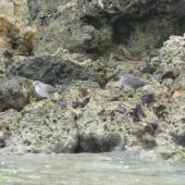 Wandering tattler. Non-breeding plumage, with grey-tailed tattler on left. Malapeoa Point, Efate, Vanuatu, March 2012. Image © Alan Tennyson by Alan Tennyson