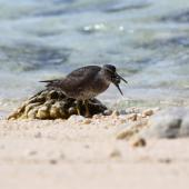 Wandering tattler. Adult. Rarotonga, October 2011. Image © Craig Steed by Craig Steed