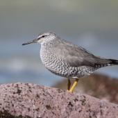 Wandering tattler. Adult in breeding plumage. Glenburn, Wairarapa coast, April 2012. Image © Steve Pilkington by Steve Pilkington