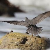 Wandering tattler. Adult in breeding plumage in flight, dorsal. Glenburn, Wairarapa coast, April 2012. Image © Steve Pilkington by Steve Pilkington