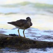 Wandering tattler. Adult, non-breeding. Rarotonga, October 2011. Image © Craig Steed by Craig Steed