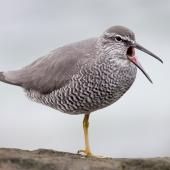 Wandering tattler. Adult in breeding plumage yawning. Rarotonga, Cook Islands, April 2014. Image © Philip Griffin by Philip Griffin Photo © Philip Griffin, 2014