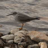 Wandering tattler. Adult in breeding plumage. Seward Peninsula, Alaska, June 2009. Image © Craig Steed by Craig Steed