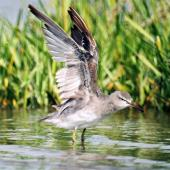 Grey-tailed tattler. Adult non-breeding plumage with wings raised. Manawatu River estuary, January 2000. Image © Alex Scott by Alex Scott