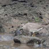Grey-tailed tattler. Non-breeding adult. Western Treatment Plant, Werribee, Victoria, Australia. Image © Sonja Ross by Sonja Ross