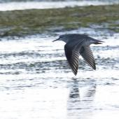 Grey-tailed tattler. Adult in flight. Awarua Bay, Southland, April 2011. Image © Glenda Rees by Glenda Rees http://www.flickr.com/photos/nzsamphotofanatic/