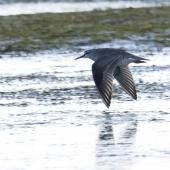 Grey-tailed tattler. Adult in flight. Awarua Bay, Southland, April 2011. Image © Glenda Rees by Glenda Rees http://www.flickr.com/photos/nzsamphotofanatic/