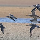 Grey-tailed tattler. In flight at front of bar-tailed godwits in flight. Awarua Bay. Image © Glenda Rees by Glenda Rees http://www.flickr.com/photos/nzsamphotofanatic/