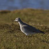 Grey-tailed tattler. Adult in breeding plumage with neck extended. Awarua Bay, May 2015. Image © Glenda Rees by Glenda Rees http://www.flickr.com/photos/nzsamphotofanatic/