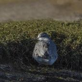 Grey-tailed tattler. Adult in breeding plumage roosting. Awarua Bay, May 2015. Image © Glenda Rees by Glenda Rees http://www.flickr.com/photos/nzsamphotofanatic/
