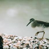 Grey-tailed tattler. Adult. Kaiaua, Firth of Thames, April 1999. Image © Alex Scott by Alex Scott