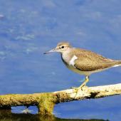 Common sandpiper. Adult standing on a branch. Bas Rebourseaux, France, August 2016. Image © Cyril Vathelet by Cyril Vathelet