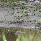 Common sandpiper. Adult wading in mud. Champs sur Yonne, France, April 2016. Image © Cyril Vathelet by Cyril Vathelet