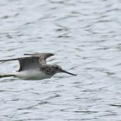 Common greenshank. Side view of bird inflight. Bas Rebourseaux, France, September 2016. Image © Cyril Vathelet by Cyril Vathelet