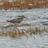 Lesser yellowlegs. Adult in breeding plumage. Denali Highway, Alaska, June 2015. Image © Nigel Voaden by Nigel Voaden